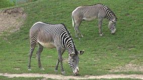 La manada de la cebra com?a grevyi del Equus de la hierba almacen de video