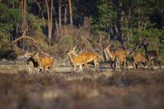 La manada de ciervos comunes hace o del elaphus del Cervus de los hinds que sale fuera de un bosque fotos de archivo libres de regalías