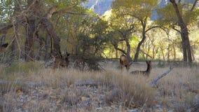La manada de ciervos salvajes con los cervatillos pasta y descansa en la sombra de la arboleda de los árboles en parque del zion almacen de metraje de vídeo
