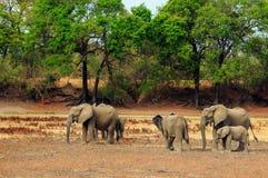 La manada de la familia de los elefantes africanos que se colocaban en el arbusto árido seco con un árbol alineó el fondo en el l Imagen de archivo libre de regalías