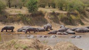 La manada de hipopótamos descansa y se coloca en los bancos del río refrescado en el agua almacen de metraje de vídeo