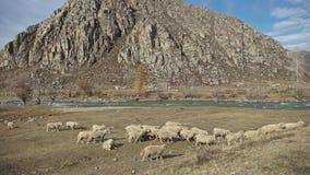 La manada de las ovejas que pastan en un lugar pintoresco con una montaña ajardina almacen de metraje de vídeo