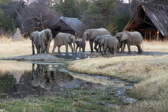 La manada de los elefantes africanos del arbusto en un campo Fotos de archivo