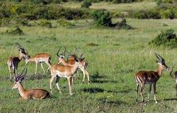 La manada de varones negro-hizo frente a los antílopes del impala (el melampus del Aepyceros) Fotografía de archivo