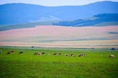La manada en el prado Fotografía de archivo