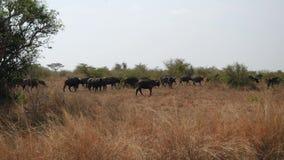 La manada grande del paseo del búfalo el Sun chamuscó a Savannah In Season Of Drought para acumular almacen de video