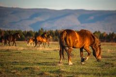 La manada hermosa del caballo de bahía pasta en las montañas en la puesta del sol, fondo natural soleado del inconformista asombr Imagenes de archivo