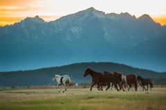 La manada hermosa del caballo de bahía pasta en las montañas en la puesta del sol, fondo natural soleado del inconformista asombr Fotos de archivo libres de regalías