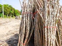 La mandioca después de la cosecha Fotos de archivo