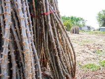 La mandioca después de la cosecha Imagenes de archivo