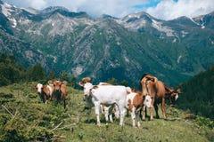 La mandria di mucche sta nella valle della montagna al fondo dei picchi nevosi Immagine Stock Libera da Diritti