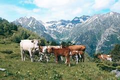 La mandria di mucche sta nella valle della montagna al fondo dei picchi nevosi Fotografia Stock Libera da Diritti