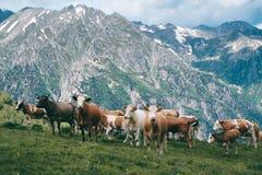 La mandria di mucche sta nella valle della montagna al fondo dei picchi nevosi Fotografia Stock
