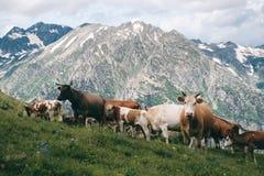 La mandria di mucche sta nella valle della montagna al fondo dei picchi nevosi Fotografie Stock Libere da Diritti