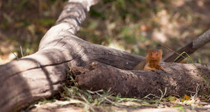 La mangouste naine Photographie stock