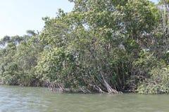 La mangrovia Fotografia Stock