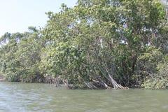 La mangrovia Immagine Stock