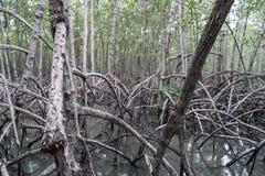 La mangrovia rimboschisce Immagine Stock Libera da Diritti