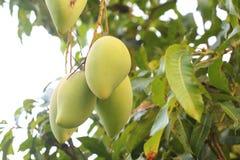 La mangue est dans l'arbre Photos stock