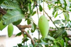 La mangue sur le manguier avec la branche et la feuille pour le fond ou la texture images stock
