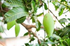La mangue sur le manguier avec la branche et la feuille pour le fond ou la texture photo stock