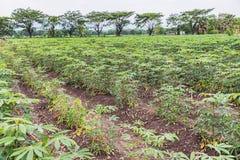 La manioca o la tapioca cresce Fotografia Stock
