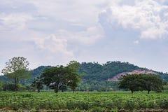 La manioca o la tapioca cresce Fotografia Stock Libera da Diritti
