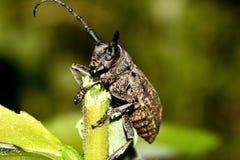 La mannaia dello scarabeo di capricorno su un bastone immagini stock