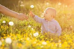 La mano adulta sostiene el diente de león del bebé en el niño de la puesta del sol que se sienta en un meado Foto de archivo