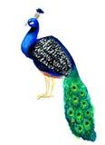 La mano ahoga el pavo real de la acuarela aislado en el fondo blanco Imagen de archivo libre de regalías