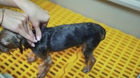 La mano ascendente cercana del groomer lava el pequeño perro con champú en el baño especial en salón de la preparación del animal