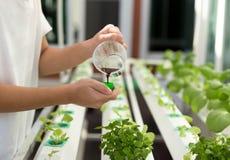 La mano con fertilizza sull'orticoltura idroponica organica dentro Fotografia Stock Libera da Diritti
