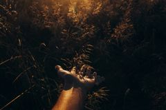 La mano con la hierba salvaje en puesta del sol irradia en el campo del verano prado debajo imagen de archivo