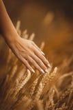 La mano con il manicure segna le spighette wheaten Fotografia Stock Libera da Diritti