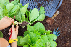 La mano de la gente cosecha la verdura orgánica limpia en el jardín FO Foto de archivo