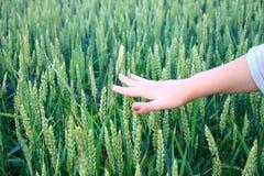 La mano de la muchacha en un campo de trigo verde Fotos de archivo libres de regalías