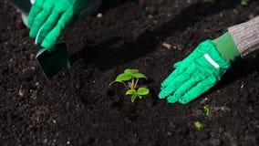 La mano de la mujer que planta la fresa almacen de video