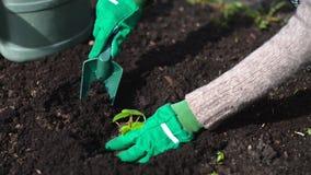 La mano de la mujer que planta la fresa almacen de metraje de vídeo