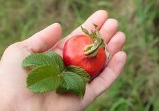 La mano de la mujer que sostenía la fruta grande de salvaje subió Foto de archivo
