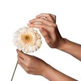 La mano de la mujer que sostiene la flor de la margarita, aislada en el fondo blanco Fotografía de archivo libre de regalías