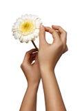 La mano de la mujer que sostiene la flor de la margarita, aislada en el fondo blanco Foto de archivo