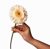 La mano de la mujer que sostiene la flor de la margarita, aislada en el fondo blanco Foto de archivo libre de regalías