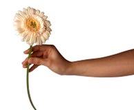 La mano de la mujer que sostiene la flor de la margarita, aislada en el fondo blanco Imágenes de archivo libres de regalías