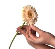 La mano de la mujer que sostiene la flor de la margarita, aislada en el fondo blanco Fotos de archivo libres de regalías
