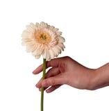 La mano de la mujer que sostiene la flor de la margarita, aislada en el fondo blanco Imagenes de archivo