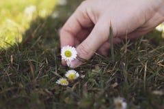La mano de la muchacha sostiene la flor de la margarita Fotos de archivo libres de regalías