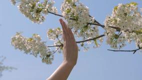 La mano de la mujer toca blando las flores blancas florecientes del manzano almacen de metraje de vídeo