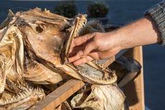 La mano de un hombre dentro de la boca de un pescado de bacalao secado dirige Imagenes de archivo