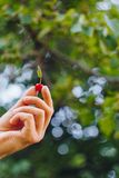 La mano de un hombre est? sosteniendo una fruta madura recientemente escogida de una cereza dulce roja con las puntillas y un vin foto de archivo
