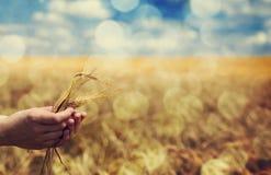 La mano del coltivatore tiene la spighetta verde del frumento. Fotografia Stock Libera da Diritti